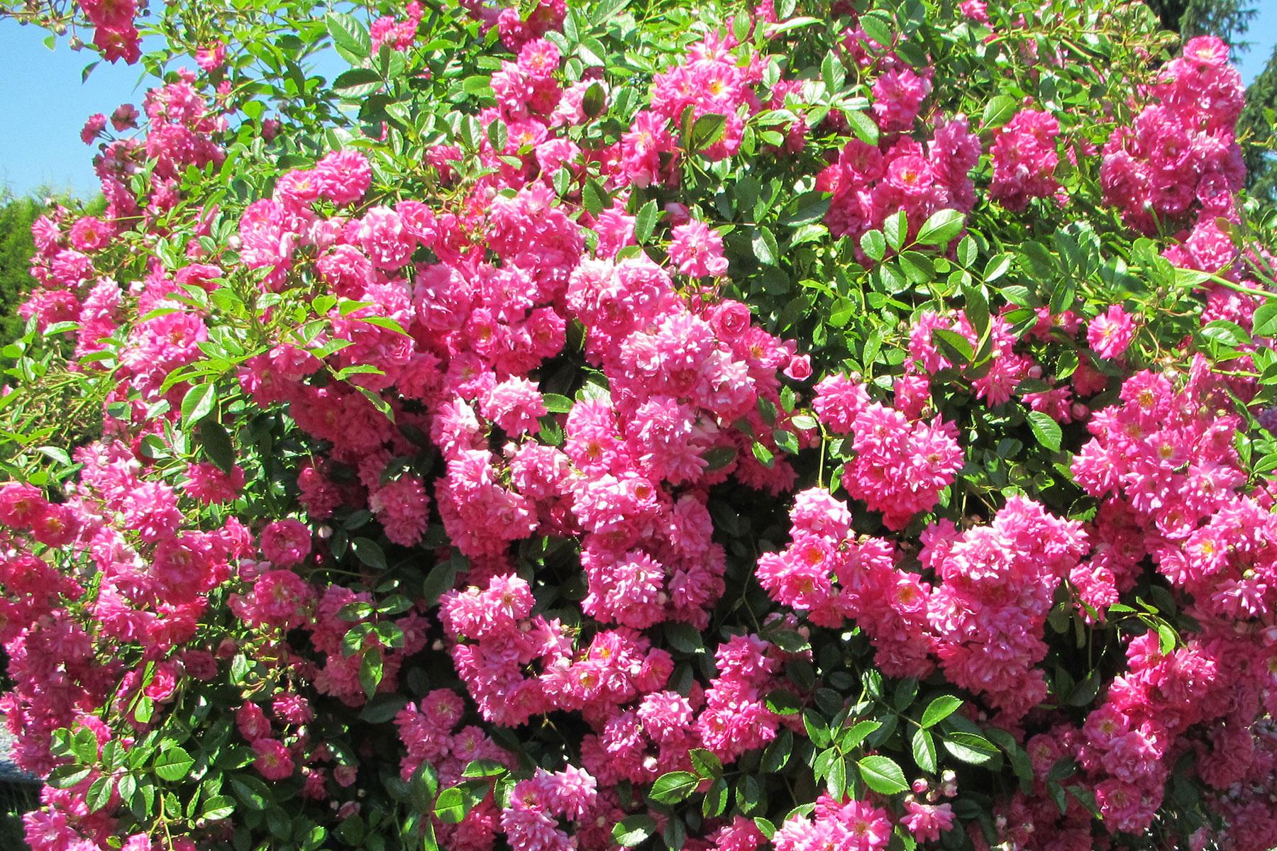 Humbert Mutterboden für Rosen